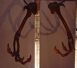 Deinocheirus forelimbs at NHM.jpg