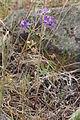 Delphinium nuttallianum 4354.JPG