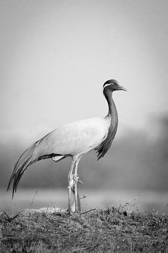 Demoiselle crane - Individual from Tal Chhapar Sanctuary, Churu, Rajasthan