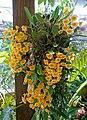 Dendrobium lindleyi - Marie Selby Botanical Gardens - Sarasota, Florida - DSC00861.jpg