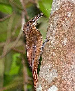 Plain-winged woodcreeper species of bird