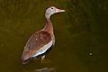 Dendrocygna autumnalis Vogelpark Marlow HBP 2011-08-18.jpg