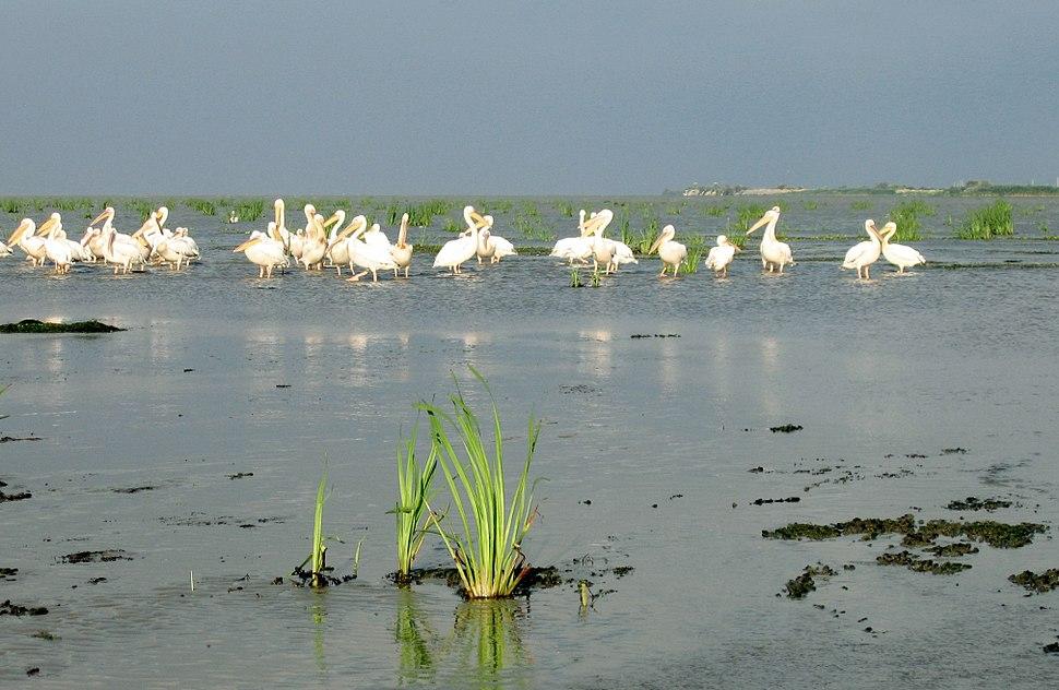Denube Delta Pelicans