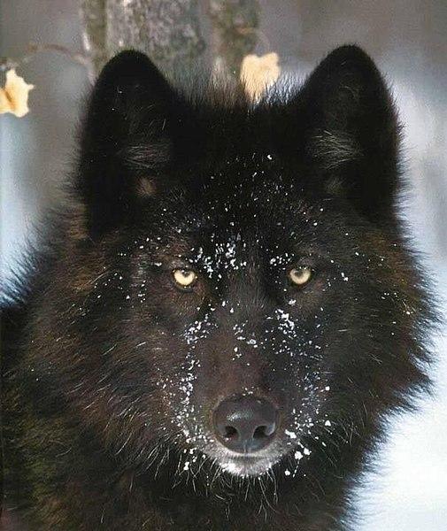 Buy Russian Bear Dog Uk