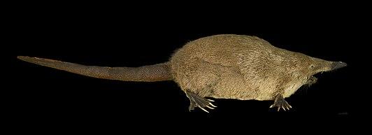 File:Russian desman (Desmana moschata), Natural History