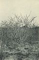 Deutsch-Ostafrika, Zentrales Steppengebiet (Busse) - Tafel 43(2) - Strophanthus eminii.jpg