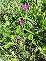 Dianthus deltoides sl18.jpg