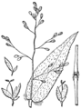 Dichanthelium boscii BB-1913.png
