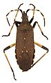 Dicranocephalus agilis.jpg