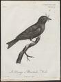 Dicrurus mystaceus - 1796-1808 - Print - Iconographia Zoologica - Special Collections University of Amsterdam - UBA01 IZ16400093.tif