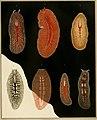 Die polycladen (seeplanarien) des golfes von Neapel und der angrenzenden meeres-abschnitte (1884) (20753587988).jpg