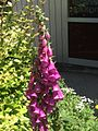 Digitalis purpurea AC.jpg