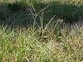 Digitaria sanguinalis (3874047095).jpg