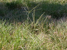Digitaria sanguinalis (3874047095).jpg