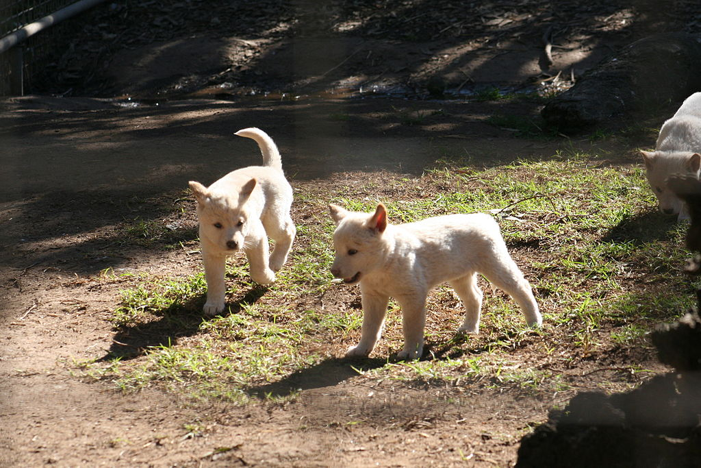 Dingo puppies