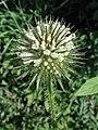 Dipsacus strigosus inflorescence (06).jpg