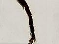 Diptera (YPM IZ 098032).jpeg