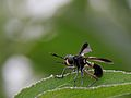 Diptera Conopidae indet. from Aceh (8188183704).jpg