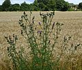 Distel in Kalkar PM16 02.jpg