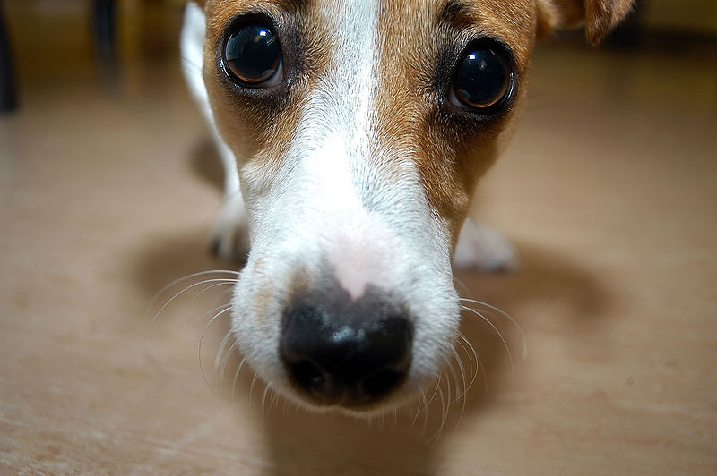 File:Dog (10835558164).jpg