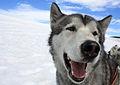 Dog Sledding...Iceland (4158965081).jpg
