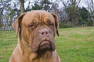 A Dogue de Bordeaux (French Mastiff)