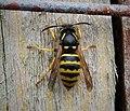 Dolichovespula sylvestris. Queen Wasp (38511427385).jpg