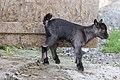 Domestic Goat - Capra aegagrus hircus (20704137020).jpg