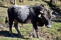 Domestic bull in Bumthang Bhutan.jpg