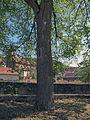 Dorflinde in Windheim.jpg