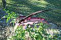 Dracunculus vulgaris 5.jpg