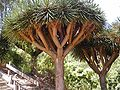 Dragon tree 2.jpg