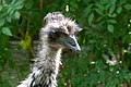 Dromaius novaehollandiae - Großer Emu 01.jpg