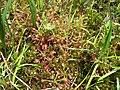 Drosera rotundifolia PinhookBog.jpg