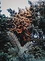 Drveće u parku Svetog Save u Nišu (13).jpg