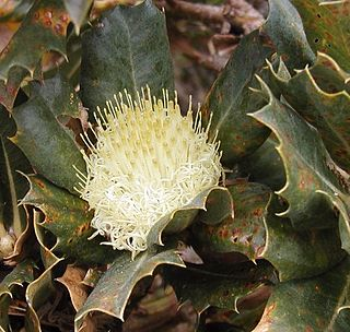 <i>Banksia sessilis</i> A shrub or tree in the family Proteaceae wdespread throughout southwest Western Australia