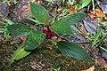Drymonia crenatiloba (Gesneriaceae) (29638455463).jpg