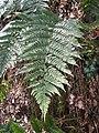 Dryopteris erythrosora1.jpg