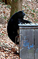 Dumpster diving bear Asheville 2.jpg