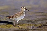 Dunlin On Bowman's beach, sanibel Island, Florida.jpg