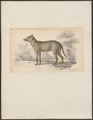 Dusicyon sylvestris - 1833-1866 - Print - Iconographia Zoologica - Special Collections University of Amsterdam - UBA01 IZ22200315.tif
