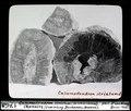 ETH-BIB-Calamodendron striatum (Calamariaceae), Chemnitz (Sammlung Zacharias, Dresden)-Dia 247-01768.tif