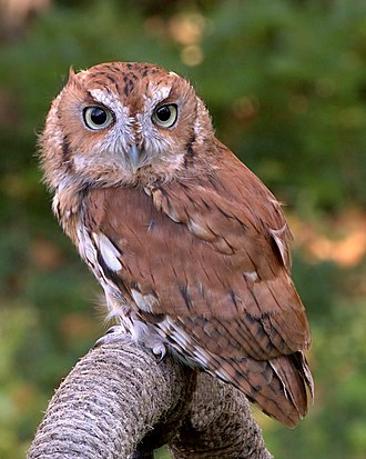 Screech owl - Eastern screech owl, Megascops asio Rufous morph