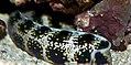 Echidna nebulosa 9zz.jpg