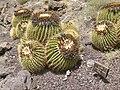 Echinocactus grusonii - Oasis Park botanical garden - Fuerteventura - 01.jpg