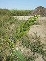 Echinochloa esculenta sl26.jpg