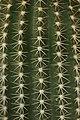 Echinopsis eyriesii (32777486443).jpg