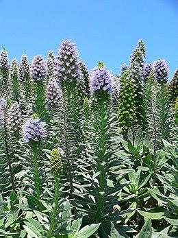 Echium hierrense flowers