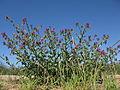 Echium plantagineum plant7 (13942778094).jpg