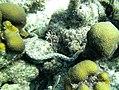 Eel Sharptail swimming (7157498355).jpg